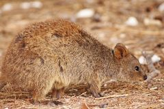 Free Cute Close Up Of Quokka Walking On Forest Floor Stock Image - 139025061