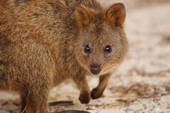 Cute close up of quokka leaning and facing the camera royalty free stock photography
