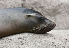 Adorable Shiny Sea Lion Head on a Rock. Cute Close Up of a Shiny Sea Lion Head Royalty Free Stock Photography