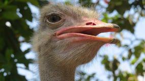 Pasbara/Ostrich bird in Sri Lanka stock photo