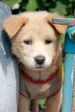 A cute closeup photo of Asia puppy. Royalty Free Stock Photo