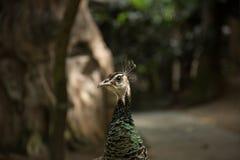 Cute closeup photo of peacock. Stock Images