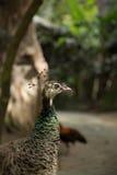 Cute closeup photo of peacock. Stock Image