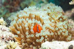 Cute clownfish in anemones. Reef inhabitant clownfish hiding in anemones Royalty Free Stock Images
