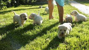Cute and clumsy labrador puppies walking in the grass with their owner
