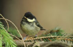 A cute Coal Tit, Periparus ater, chick perched on a branch. Royalty Free Stock Photography