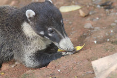 Cute Coati Royalty Free Stock Image