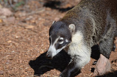 Cute Coatimundi Stock Photography