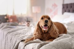 Cute Cocker Spaniel dog on bed at home. Warm and cozy winter stock images
