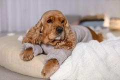 Cute Cocker Spaniel dog in knitted sweater lying stock images