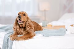 Cute Cocker Spaniel dog with warm blanket on bed at home royalty free stock photography