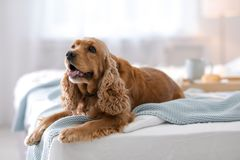 Cute Cocker Spaniel dog with warm blanket stock image