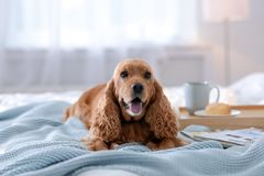 Cute Cocker Spaniel dog with warm blanket on bed at home. stock photography