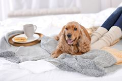 Cute Cocker Spaniel dog with warm blanket lying. Near owner on bed at home. Cozy winter stock photo