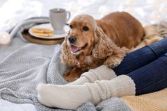 Cute Cocker Spaniel dog with warm blanket lying. Near owner on bed at home. Cozy winter stock photography