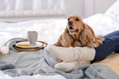 Cute Cocker Spaniel dog with warm blanket lying near owner on bed at home royalty free stock images