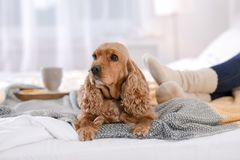 Cute Cocker Spaniel dog with warm blanket lying near owner on bed at home. Cozy winter stock photo