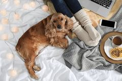 Cute Cocker Spaniel dog with warm blanket lying near owner on bed, top view. Cozy winter stock photography
