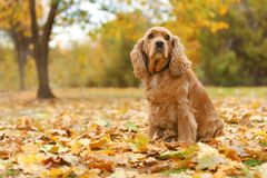 Cute Cocker Spaniel in park royalty free stock photo