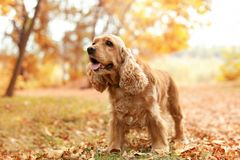 Cute Cocker Spaniel in park royalty free stock image