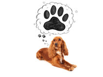 Cute cocker spaniel with paw above her head Stock Image