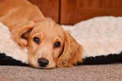 Free Cute Cocker Spaniel Puppy Stock Photography - 64481772