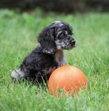 Small Cocker Spaniel puppy with ball. Cute Cocker Spaniel puppy being playful outside with orange ball in the grass Royalty Free Stock Images