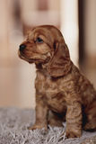 Cute cocker spaniel puppy close up. Cute brown cocker spaniel puppy Stock Photo