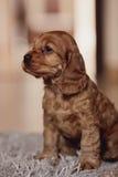 Cute cocker spaniel puppy close up. Stock Photo