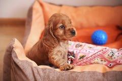 Cute cocker spaniel puppy close up. Cute cocker spaniel puppy in the little house Stock Photos