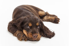 Cute Cocker Spaniel Puppy Dog Looking Up Royalty Free Stock Photos