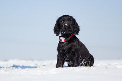 Cute cocker spaniel puppy sits in the snow Stock Photos