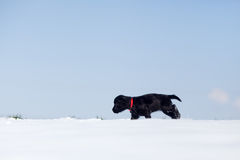 Cute puppy walks lonely in the snow Royalty Free Stock Image