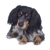 Cute cockerspaniel mixed breed Stock Photography