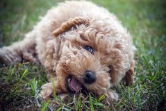 Moodle puppy dog close up Royalty Free Stock Image