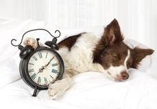 Cute Collie border breed dog sleeping in bed. Covered with a blanket, an alarm clock is near stock photos