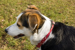 Cute Collie Dog Stock Photo