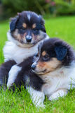 Cute Collie puppies Royalty Free Stock Photography