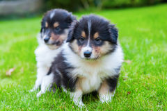 Cute Collie puppies. Group of cute Collie puppies stock image