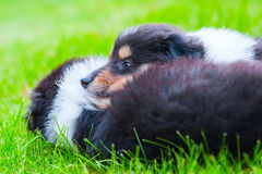Cute Collie puppies. Lying in the grass stock photo
