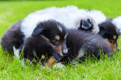 Cute Collie puppies Stock Image