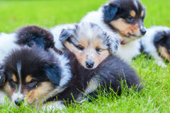 Cute Collie puppies Stock Images