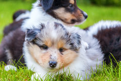 Cute Collie puppies Royalty Free Stock Photos