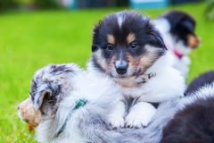 Cute Collie puppies. Lying in the grass royalty free stock photography