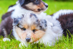 Cute Collie puppies Royalty Free Stock Images