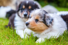 Cute collie puppies. Lying on a green meadow stock image