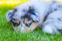 Cute collie puppy. Cute blue merle colored collie puppy lying lazy on the grass royalty free stock image