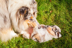 Cute collie puppy with mother royalty free stock photography