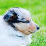 Cute Collie puppy Stock Photography