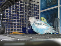 A cute colorful budgie have a shower stock image